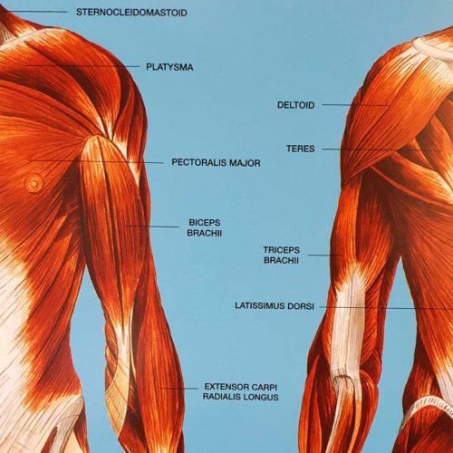 Tavla Människokroppen the human body (2)