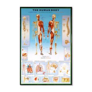 Tavla Människokroppen the human body