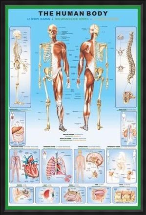 poster-the-human-body-and-its-organs-human-biology-poster-kartkungen