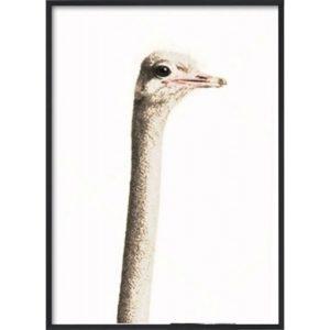Poster 30x40 African Ostrich Head