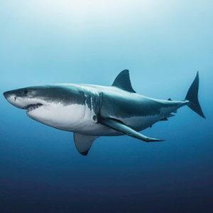 white_shark-Poster-91.5x61