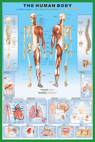 human_body-Poster-anatomi91.5x61