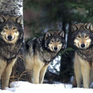 wolf_pack-Poster-91.5x61